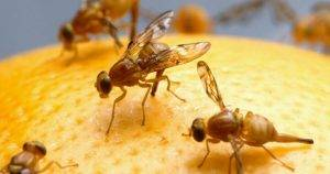 Handy Tricks to Get Rid of Fruit Flies at Home