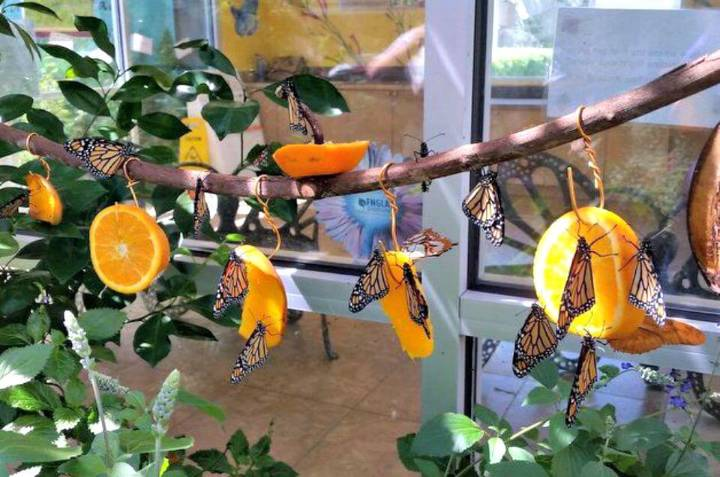 Make a Fruit Feeder to Attract Butterflies