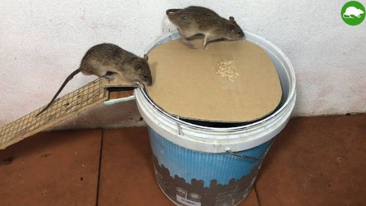 Tips on Using Rat Traps