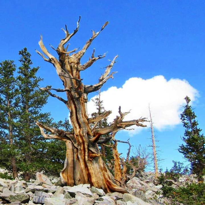 Bristlecone Pine and Other Native Trees for Your Colorado Landscape