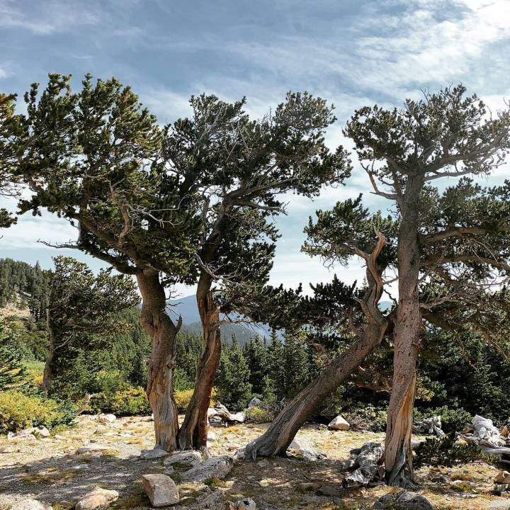 Bristlecone Pine and Other Native Trees for Your Landscape