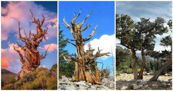 Get Bristlecone Pine and Other Native Trees for Your Landscape