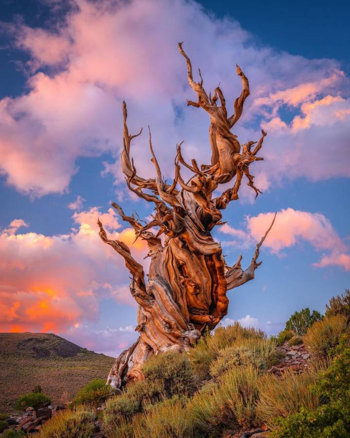 The Bristlecone Pine and Other Native Trees for Your Colorado Landscape